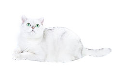 White british cat. Over white background Stock Image