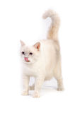 White british cat Royalty Free Stock Photography
