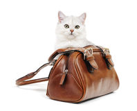 White british cat in a handbag Stock Photos