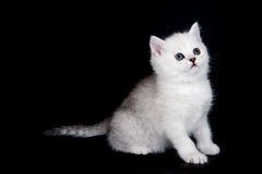 White british kitten. On black background Royalty Free Stock Image