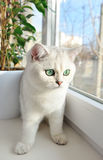 White British kitten with green eyes is sitting on the windowsill Royalty Free Stock Photo