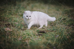 White British shorthair cat in the autumn forest Stock Image