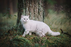 White British shorthair cat in the autumn forest Stock Photos