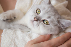 White British shorthair cat in the hands of a woman in a bathrobe Royalty Free Stock Photography