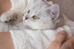 White British shorthair cat in the hands of a woman in a bathrobe Stock Images