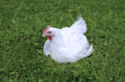 White broiler chicken Royalty Free Stock Photos