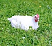 White broiler chicken Stock Photo