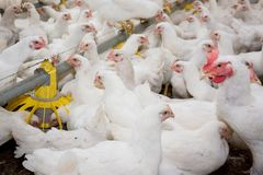 Free White Broiler Chickens At The Poultry Farm Stock Photos - 104043483