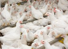White broiler chickens at the poultry farm. Young broiler chickens at the poultry farm.Modern poultry farm for rearing chickens royalty free stock photo