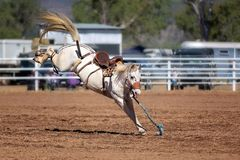 White Bucking Horse At Rodeo royalty free stock photos