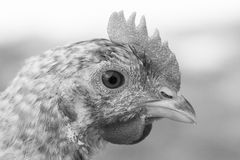White broody hen. Walking in a field Stock Photography