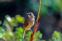 White browed bulbul bird at sinharaja. Rain forest Stock Image