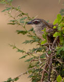 White -browed Coucal Stock Image