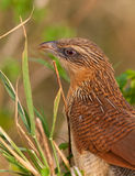White -browed Coucal Stock Photo