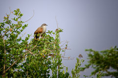 White-Browed Coucal Royalty Free Stock Images