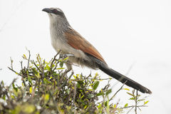White browed coucal Stock Image