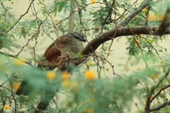 White-browed coucal Stock Photography
