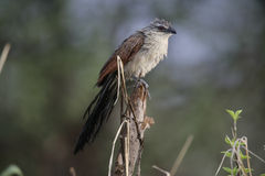 White-browed coucal, Centropus superciliosus Royalty Free Stock Photography