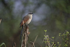 White-browed coucal, Centropus superciliosus Royalty Free Stock Photo