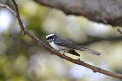 White-browed Fantail Flycatcher Stock Photos