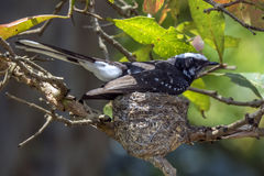 White-browed fantail nesting in Udawalawe, Sri Lanka Stock Photos