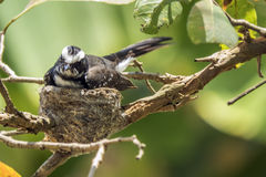 White-browed fantail nesting in Udawalawe, Sri Lanka Stock Images