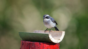 White-browed Fantail Royalty Free Stock Photos