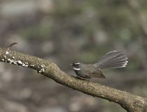 White-Browed fantail playing on a tree branch at Sattal royalty free stock images