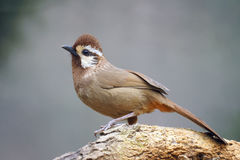 White-browed Laughingthrush Stock Photos