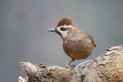 White-browed Laughingthrush Royalty Free Stock Photography