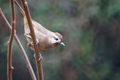 White-browed Laughingthrush Stock Photography