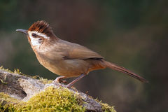 White-browed Laughingthrush Stock Images