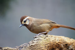 White-browed Laughingthrush Royalty Free Stock Photo