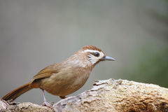 White-browed Laughingthrush Royalty Free Stock Images