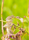 White-browed Prinia giving the food Royalty Free Stock Photography