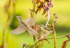 White-browed Prinia start to fly with her baby in background Stock Image