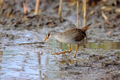 White-browed Rail, Porzana cinerea Stock Images
