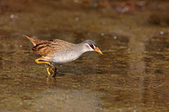 White-browed Rail, Porzana cinerea Royalty Free Stock Images