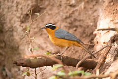 White-browed robin chat on branch beside bank. A white-browed robin chat is perched on a branch in front of a muddy bank. In the foreground is a tangle of Stock Photo
