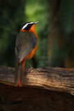 White-browed Robin-Chat, Cossypha heuglini, detail of exotic brown and orange african bird in the dark forest nature habitat, Vict Stock Photos