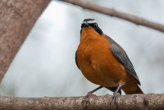 White-Browed Robin-Chat. Wild White-Browed Robin-Chat on a branch Royalty Free Stock Photography