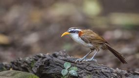 White-browed Scimitar Babbler on Log. White-browed scimitar babbler - Pomatorhinus schisticeps, is perching on wooden log at Baan Maka, Kaeng Krachan National Royalty Free Stock Image