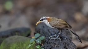 White-browed Scimitar Babbler on Log. White-browed scimitar babbler - Pomatorhinus schisticeps, is perching on wooden log at Baan Maka, Kaeng Krachan National Royalty Free Stock Images