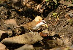 White-browed Scimitar-Babbler (Pomatorhinus schisticeps) Royalty Free Stock Photos