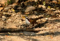 White-browed Scimitar-Babbler (Pomatorhinus schisticeps) Stock Image