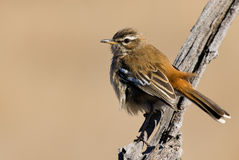 White browed Scrub Robin Stock Images