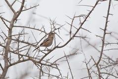 White-browed Scrub Robin Stock Photo