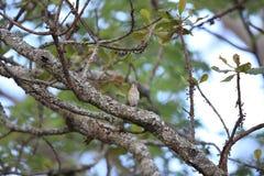 White-browed scrub robin Royalty Free Stock Image