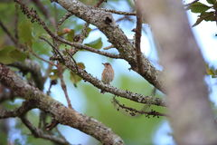 White-browed scrub robin Royalty Free Stock Photography