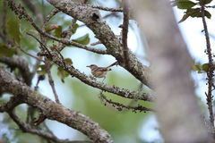 White-browed scrub robin Royalty Free Stock Photo